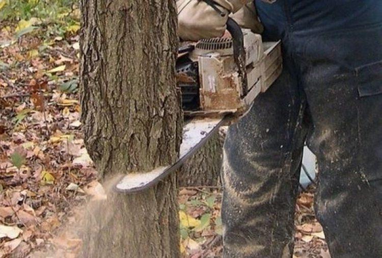 Картинки по запросу зрізані дерева